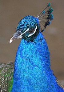 nyckelfågel